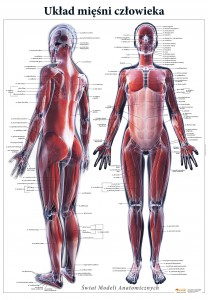 Anatom świat Modeli Anatomicznych Modele Pomoce